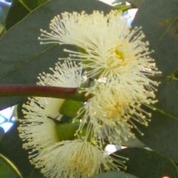 Okaliptus Pimpus